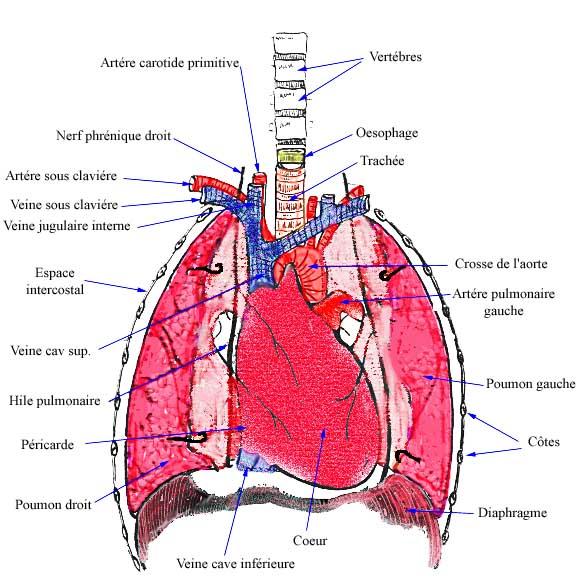 la cavité thoracique