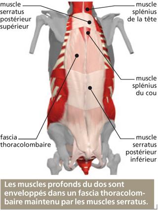 les muscles profonds du dos le corps humain. Black Bedroom Furniture Sets. Home Design Ideas