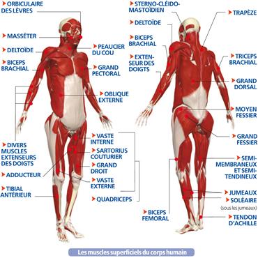 les muscles du corps