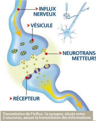 Les nerfs des transmetteurs d information le corps humain for Influx nerveux
