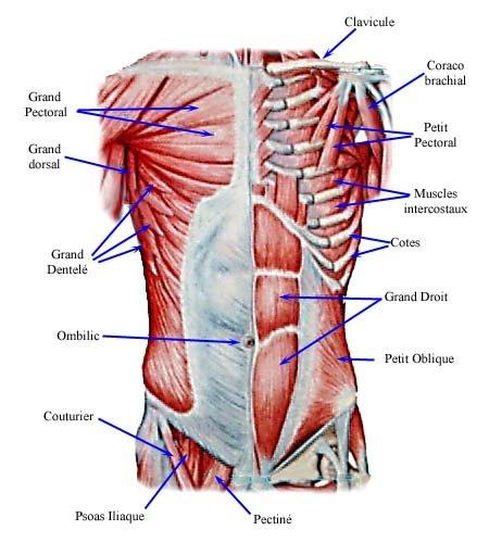 les muscles du tronc