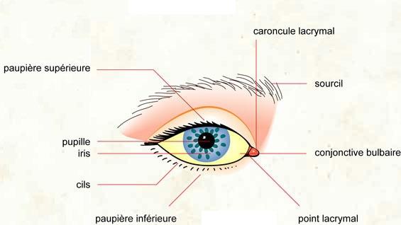"""Résultat de recherche d'images pour """"description de l'oeil"""""""